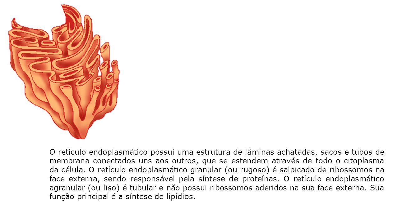 O retículo endoplasmático possui uma estrutura de lâminas achatadas, sacos e tubos de membrana conectados uns aos outros, que se estendem através de todo o citoplasma da célula.