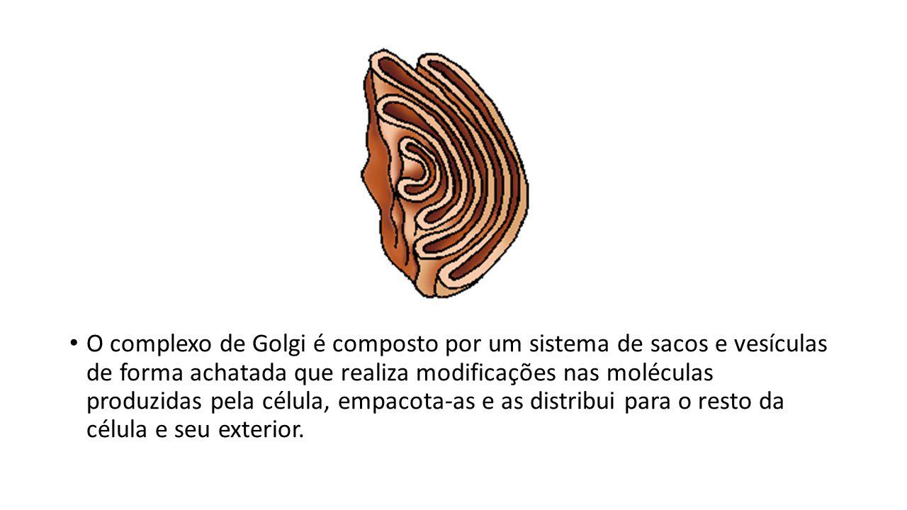 O complexo de Golgi é composto por um sistema de sacos e vesículas de forma achatada que realiza modificações nas moléculas produzidas pela célula, empacota-as e as distribui para o resto da célula e seu exterior.