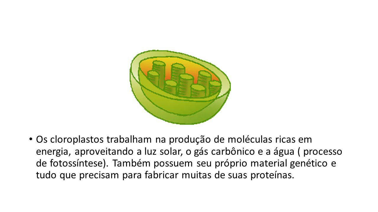 Os cloroplastos trabalham na produção de moléculas ricas em energia, aproveitando a luz solar, o gás carbônico e a água ( processo de fotossíntese).