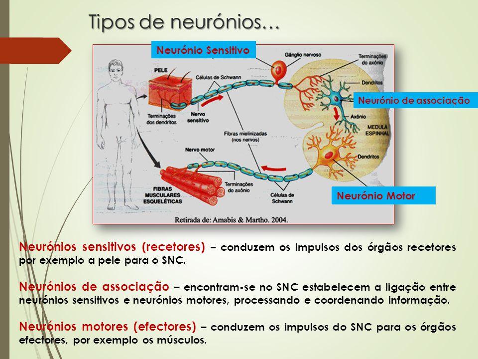 Tipos de neurónios… Neurónio Sensitivo. Neurónio de associação. Neurónio Motor.