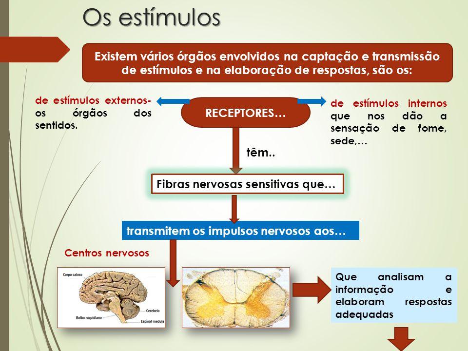 Os estímulos Existem vários órgãos envolvidos na captação e transmissão de estímulos e na elaboração de respostas, são os: