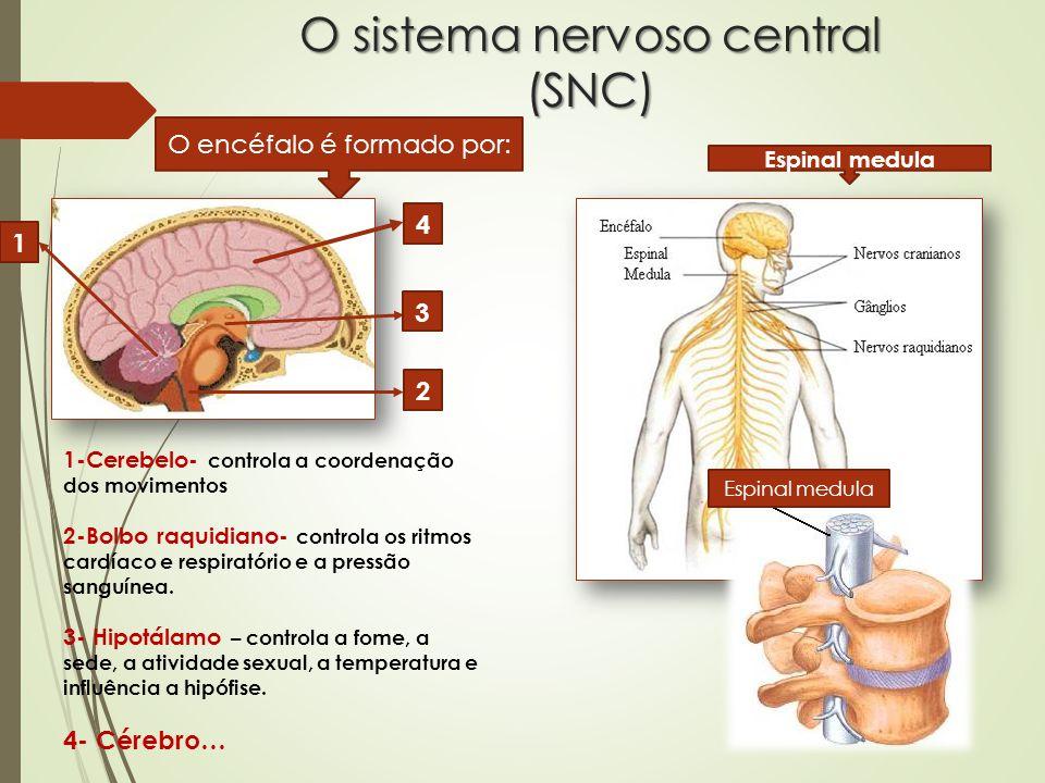 O sistema nervoso central (SNC)