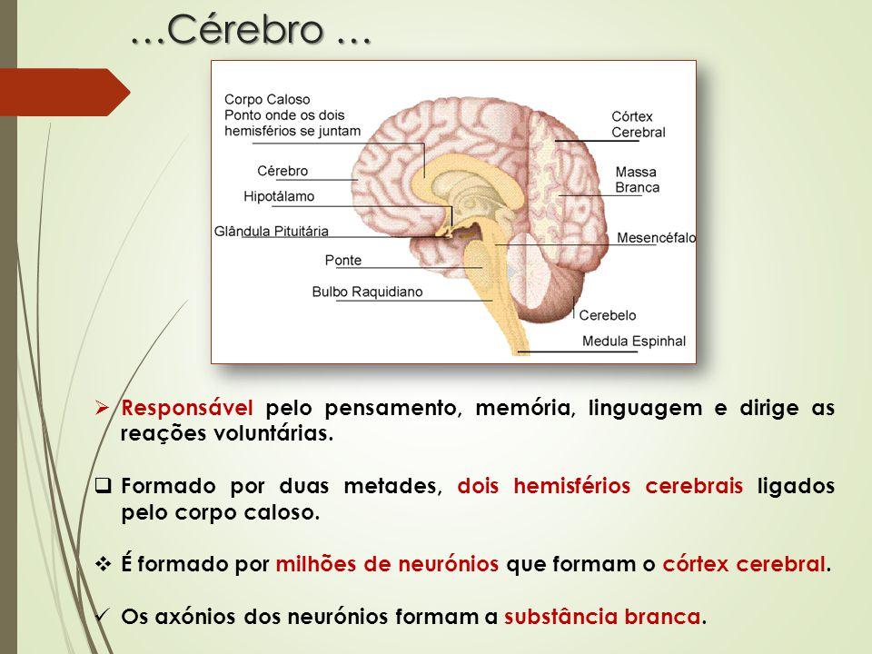 …Cérebro … Responsável pelo pensamento, memória, linguagem e dirige as reações voluntárias.