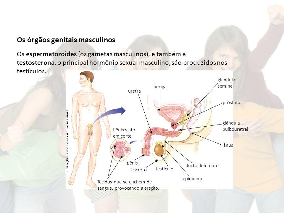 Os órgãos genitais masculinos