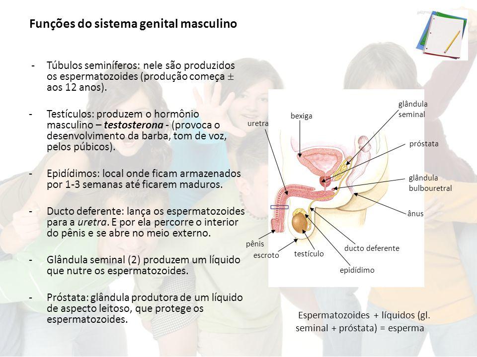 Funções do sistema genital masculino