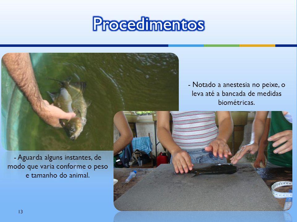 Procedimentos - Notado a anestesia no peixe, o leva até a bancada de medidas biométricas.