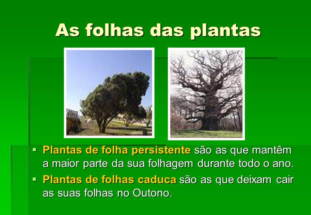 As folhas das plantas Plantas de folha persistente são as que mantêm a maior parte da sua folhagem durante todo o ano.