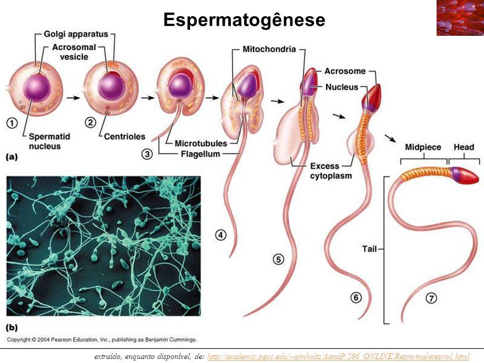 Espermatogênese extraído, enquanto disponível, de: http://academic.pgcc.edu/~aimholtz/AandP/206_ONLINE/Repro/malerepro1.html.