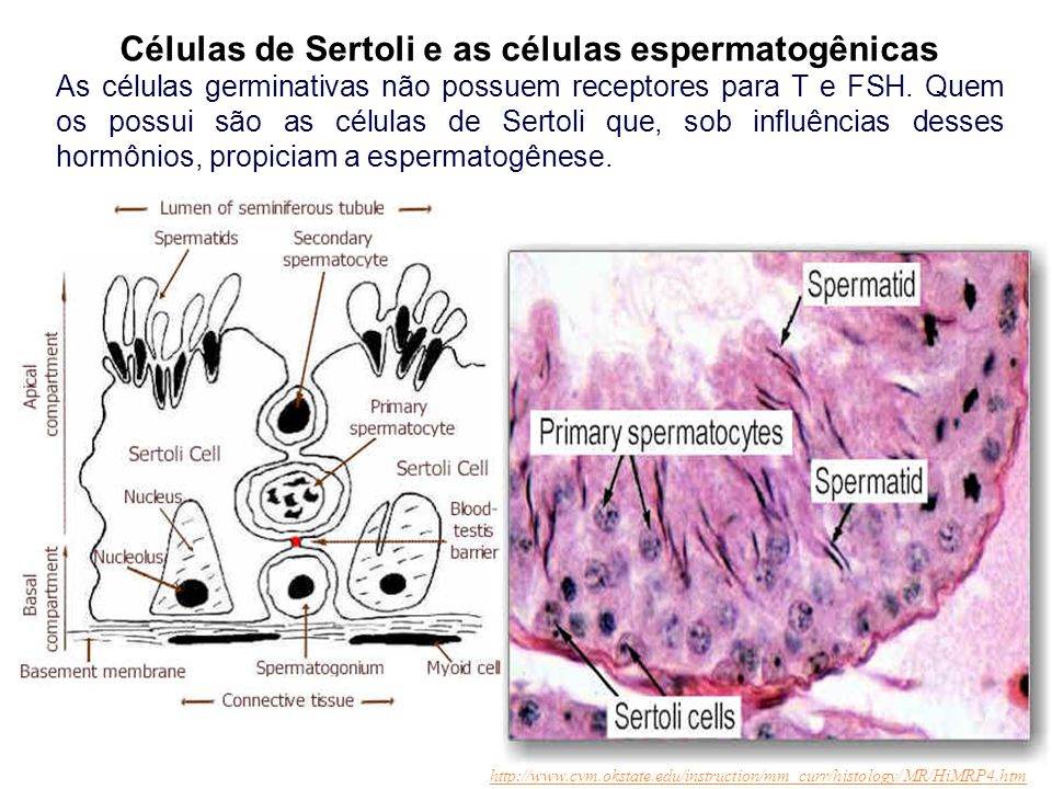 Células de Sertoli e as células espermatogênicas