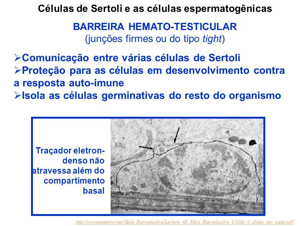 Comunicação entre várias células de Sertoli