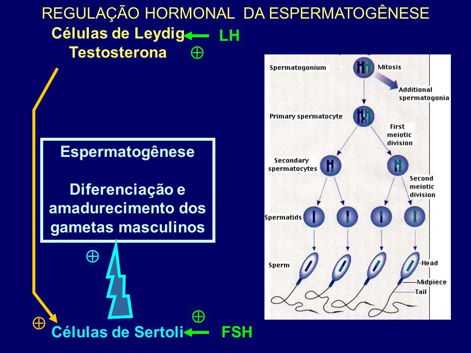 Diferenciação e amadurecimento dos gametas masculinos