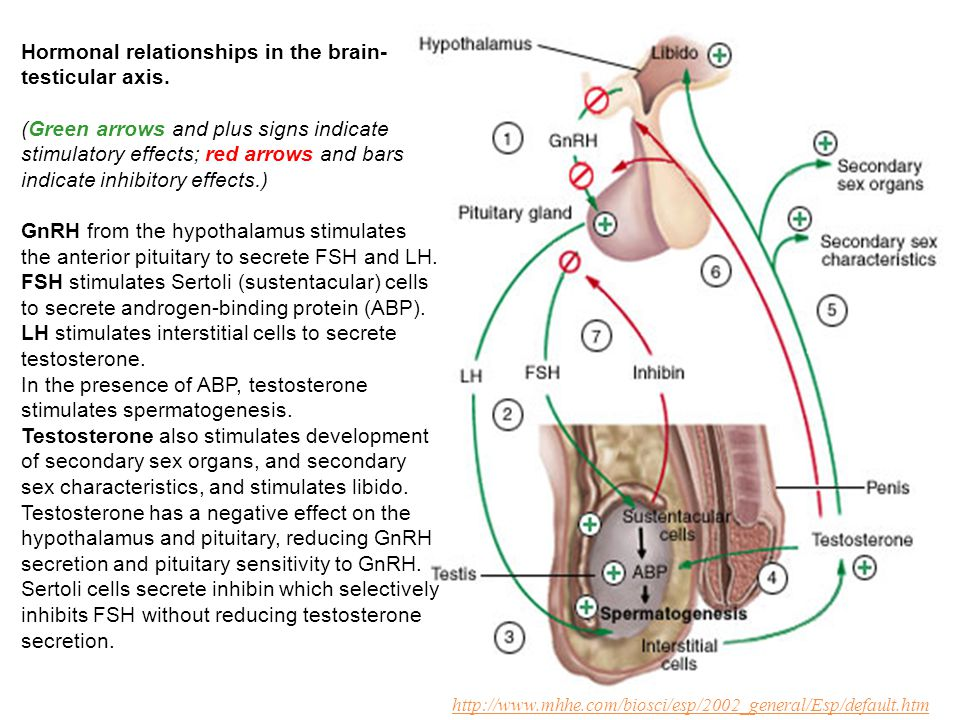 Hormonal relationships in the brain-testicular axis.