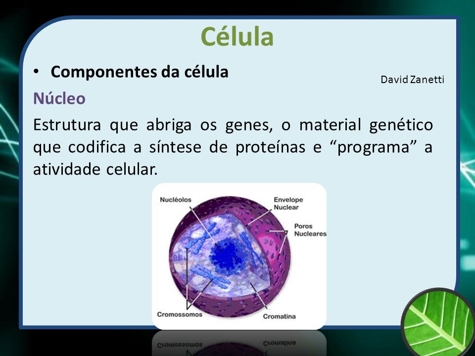 Célula Componentes da célula Núcleo