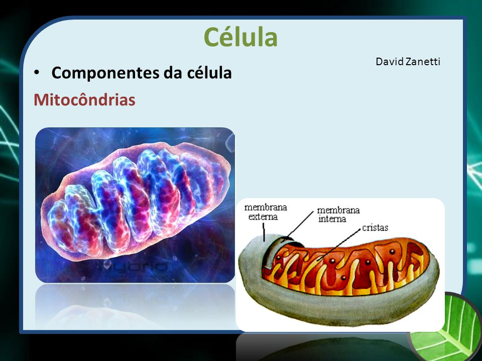 Célula David Zanetti Componentes da célula Mitocôndrias