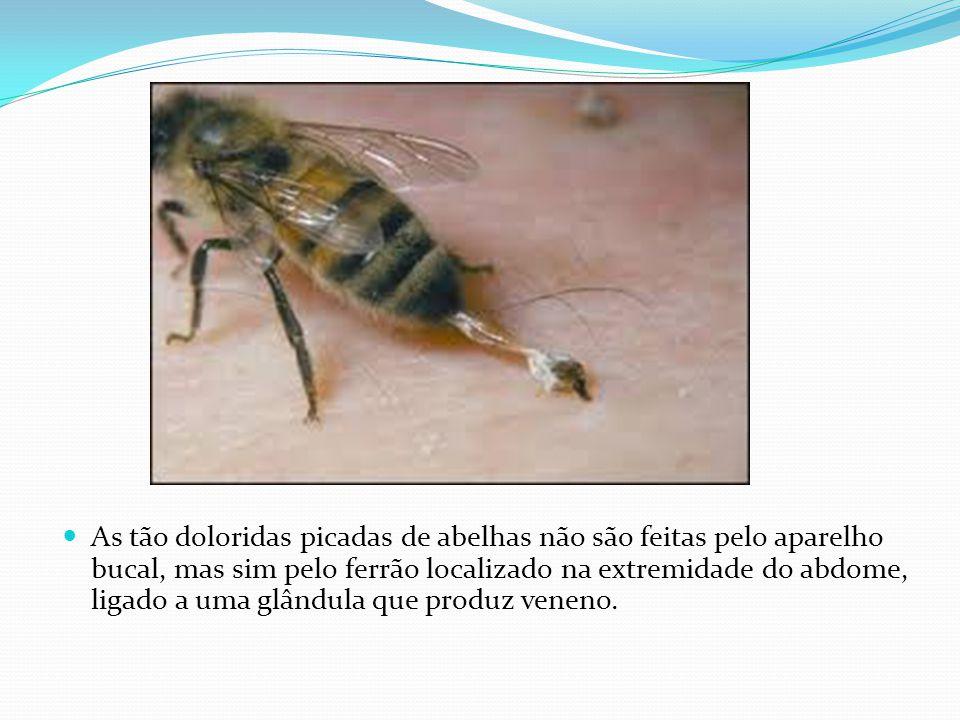 As tão doloridas picadas de abelhas não são feitas pelo aparelho bucal, mas sim pelo ferrão localizado na extremidade do abdome, ligado a uma glândula que produz veneno.
