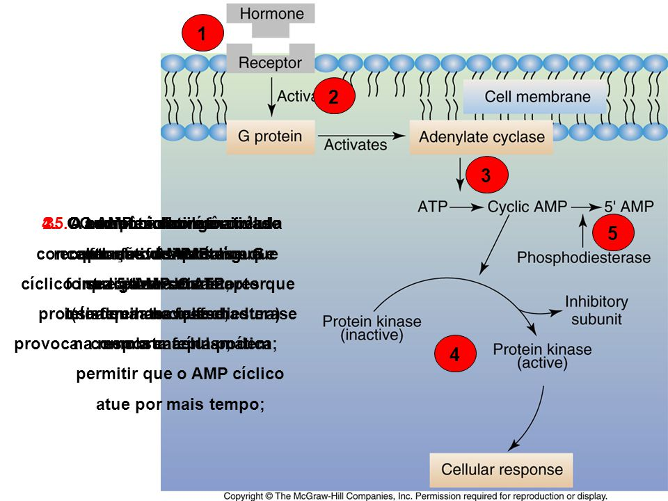 A enzima adenilato ciclase forma o AMP cíclico a partir do ATP;