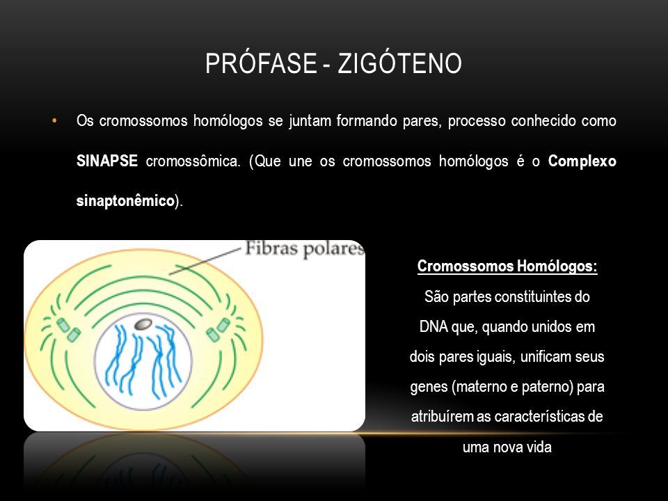 Prófase - Zigóteno