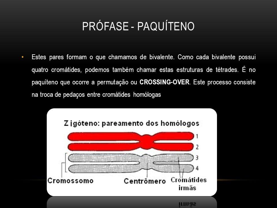 Prófase - Paquíteno
