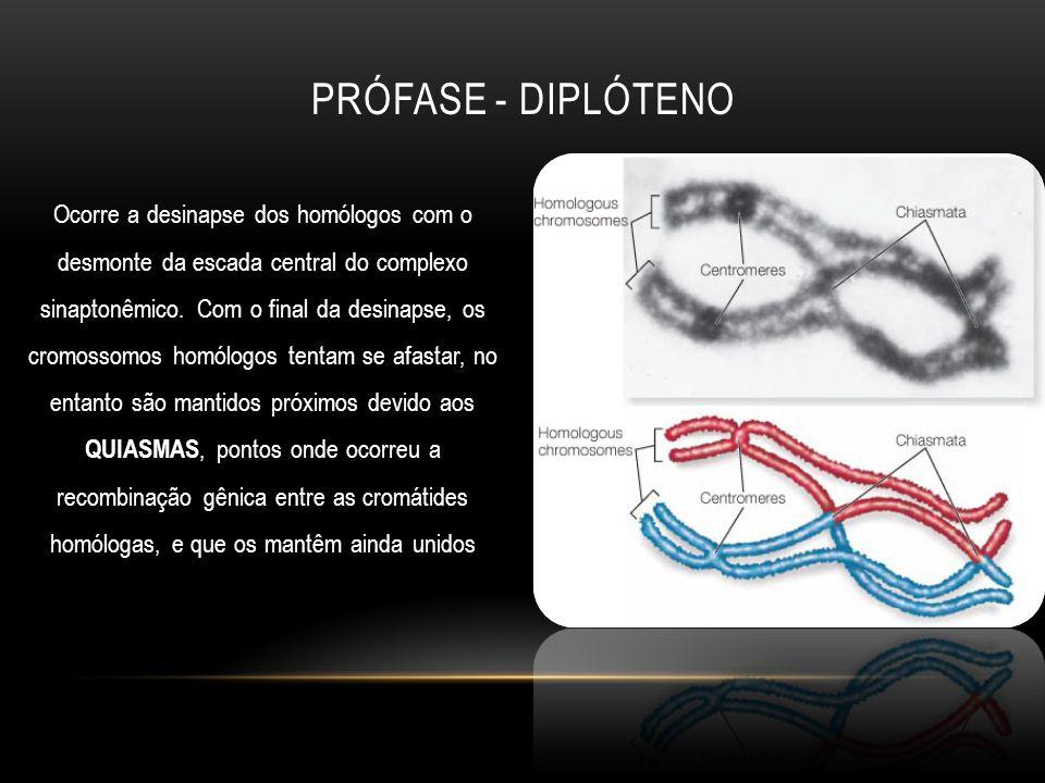 Prófase - diplóteno