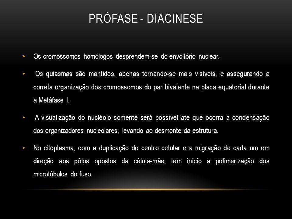 Prófase - diacinese Os cromossomos homólogos desprendem-se do envoltório nuclear.
