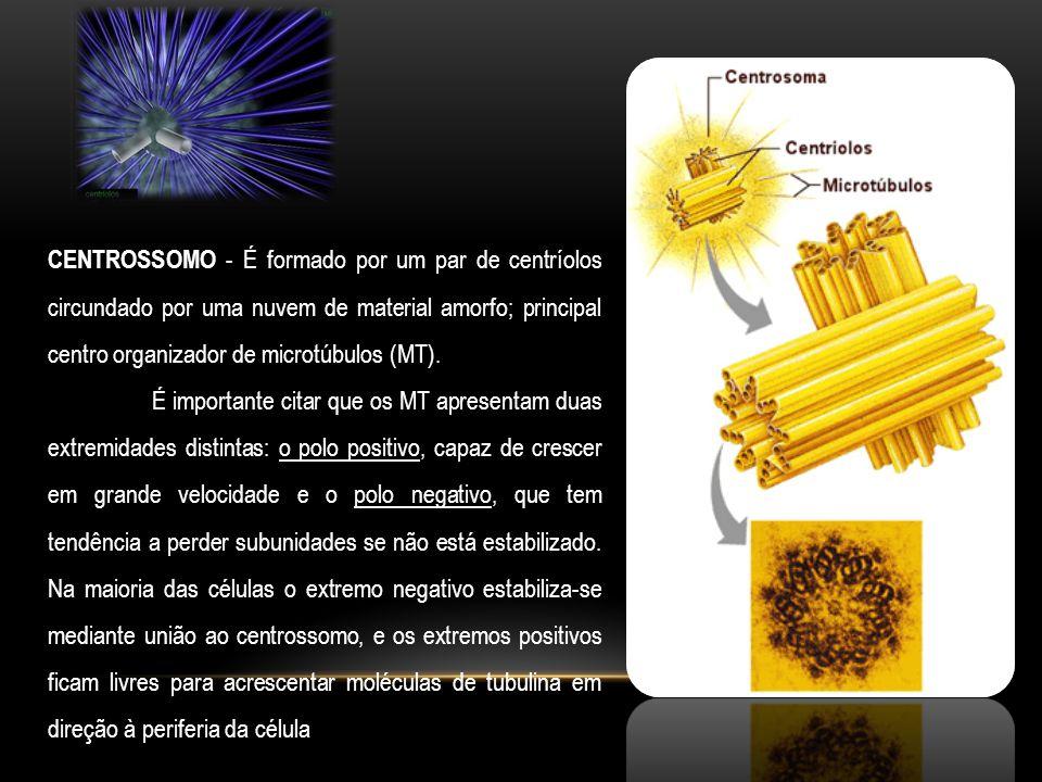 CENTROSSOMO - É formado por um par de centríolos circundado por uma nuvem de material amorfo; principal centro organizador de microtúbulos (MT).