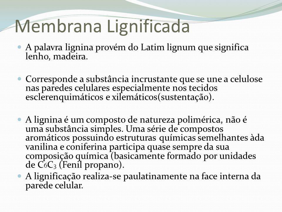 Membrana Lignificada A palavra lignina provém do Latim lignum que significa lenho, madeira.