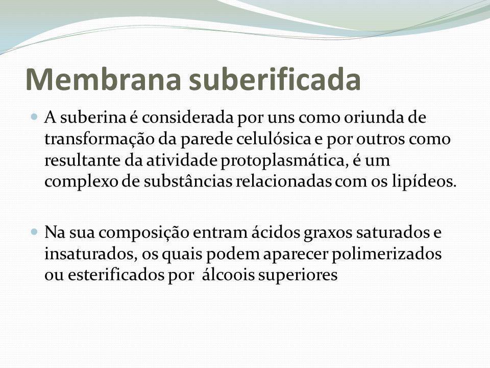 Membrana suberificada