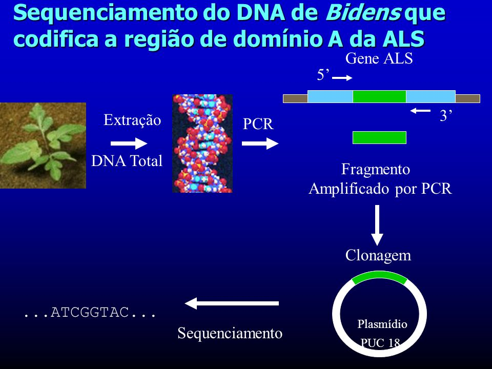 Sequenciamento do DNA de Bidens que codifica a região de domínio A da ALS