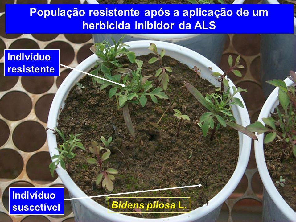 População resistente após a aplicação de um herbicida inibidor da ALS