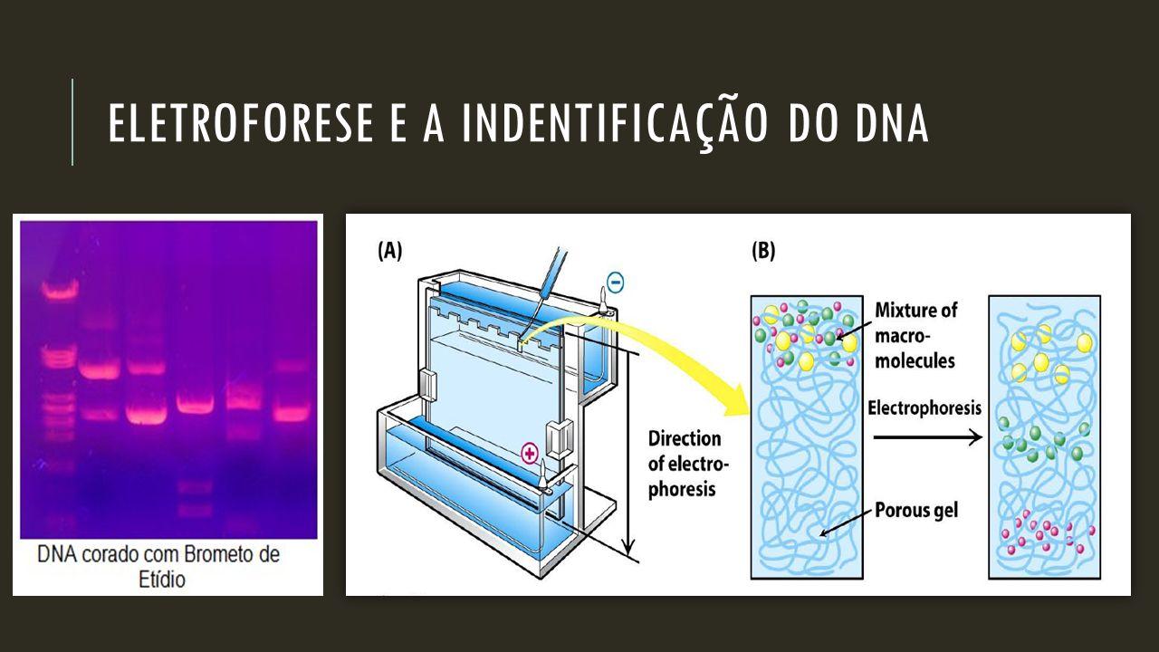 Eletroforese e a indentificação do dna