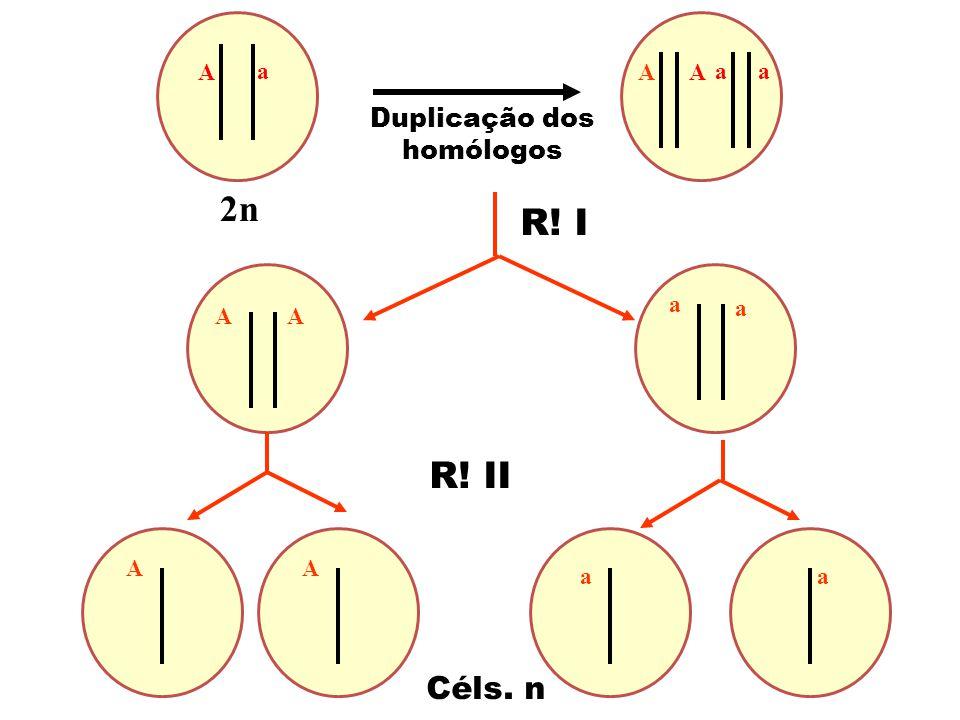2n Céls. n Duplicação dos homólogos a A R! I R! II