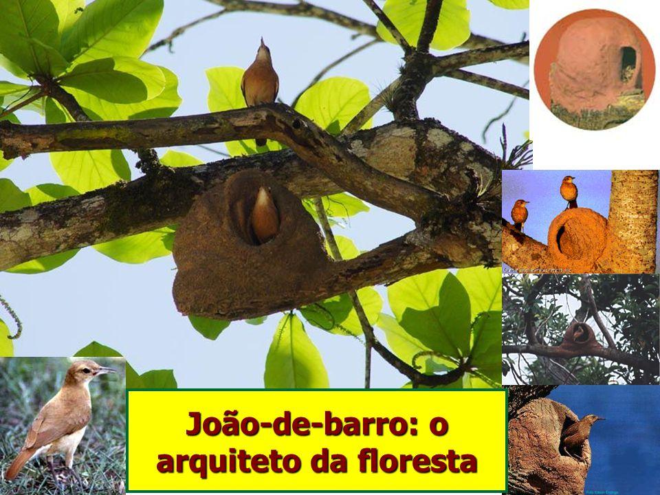 João-de-barro: o arquiteto da floresta