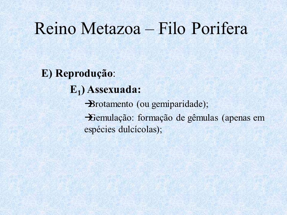 Reino Metazoa – Filo Porifera