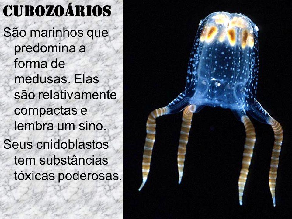 Cubozoários São marinhos que predomina a forma de medusas. Elas são relativamente compactas e lembra um sino.