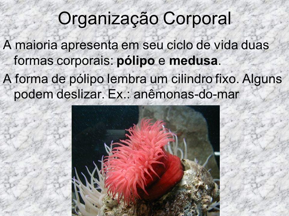 Organização Corporal A maioria apresenta em seu ciclo de vida duas formas corporais: pólipo e medusa.