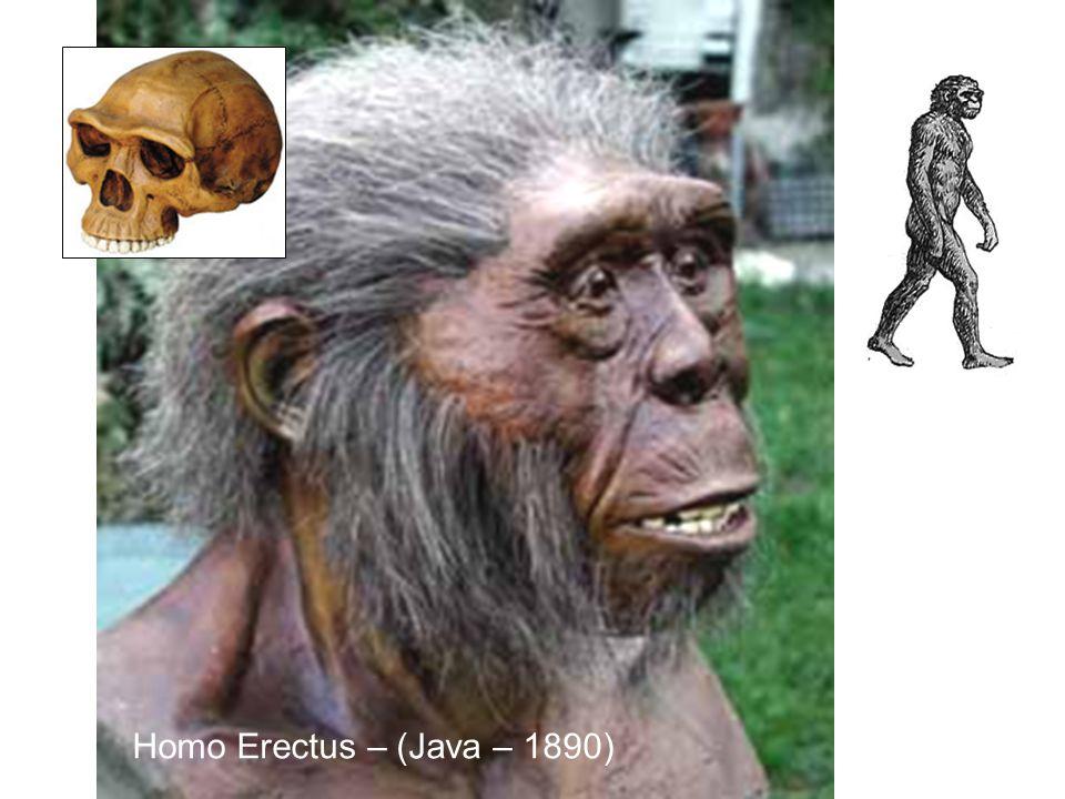Homo Erectus – (Java – 1890)