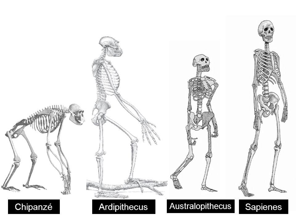 Chipanzé Ardipithecus Australopithecus Sapienes