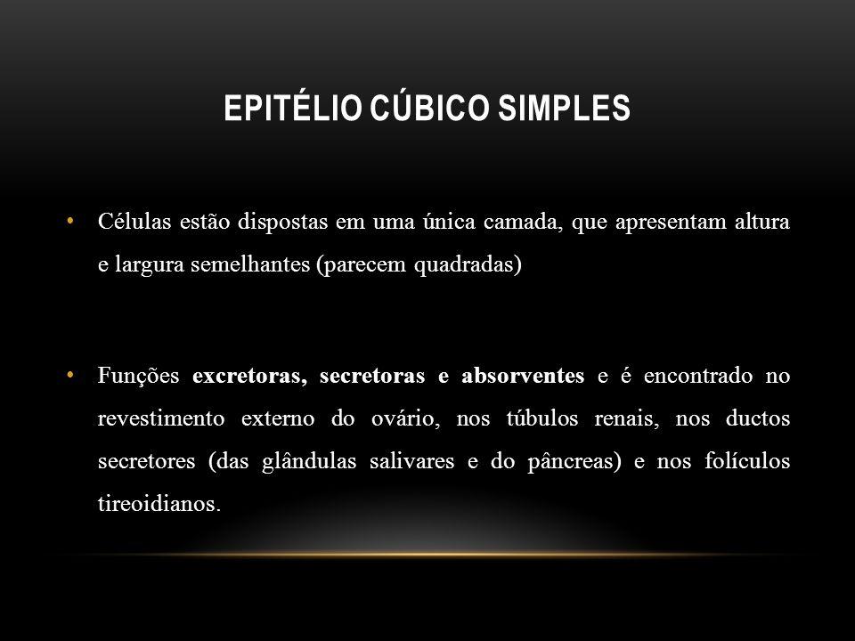 Epitélio cúbico simples