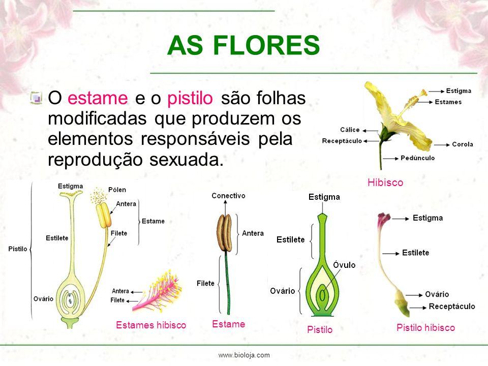 AS FLORES Hibisco. O estame e o pistilo são folhas modificadas que produzem os elementos responsáveis pela reprodução sexuada.
