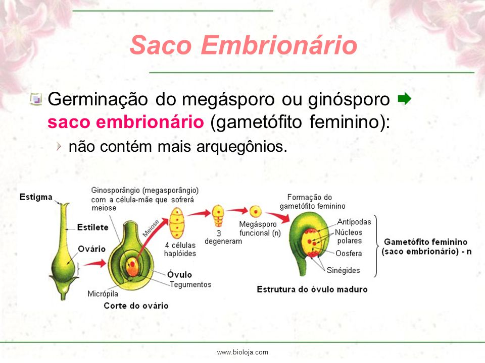 Saco Embrionário Germinação do megásporo ou ginósporo  saco embrionário (gametófito feminino): não contém mais arquegônios.