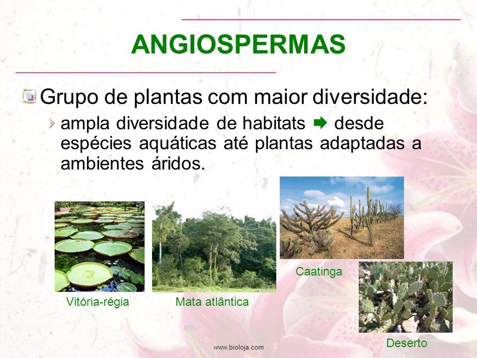 ANGIOSPERMAS Grupo de plantas com maior diversidade: