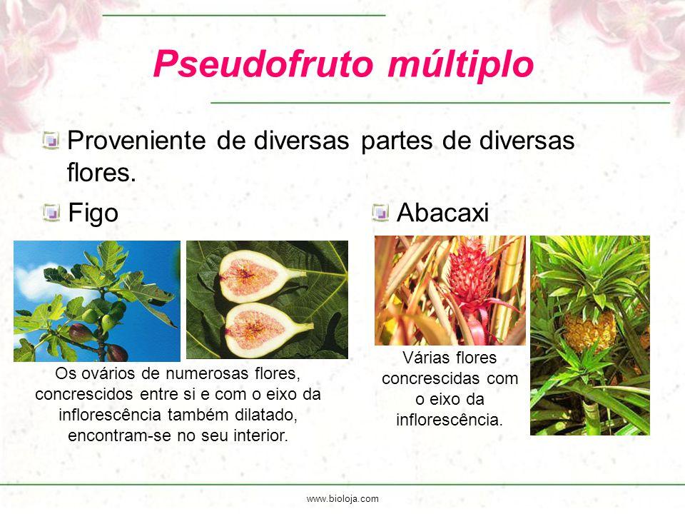 Várias flores concrescidas com o eixo da inflorescência.