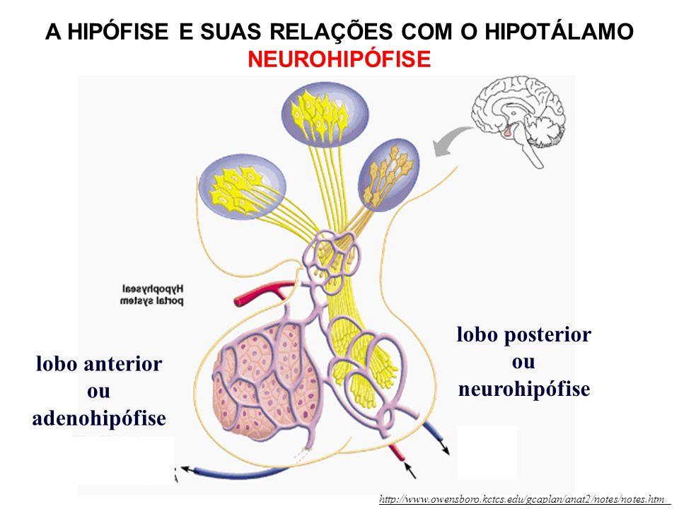 A HIPÓFISE E SUAS RELAÇÕES COM O HIPOTÁLAMO NEUROHIPÓFISE