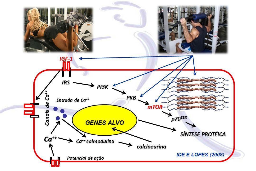 Ca++ IGF-1 IRS PI3K PKB Canais de Ca++ mTOR GENES ALVO p70S6K