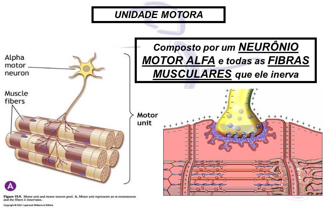 UNIDADE MOTORA Composto por um NEURÔNIO MOTOR ALFA e todas as FIBRAS MUSCULARES que ele inerva