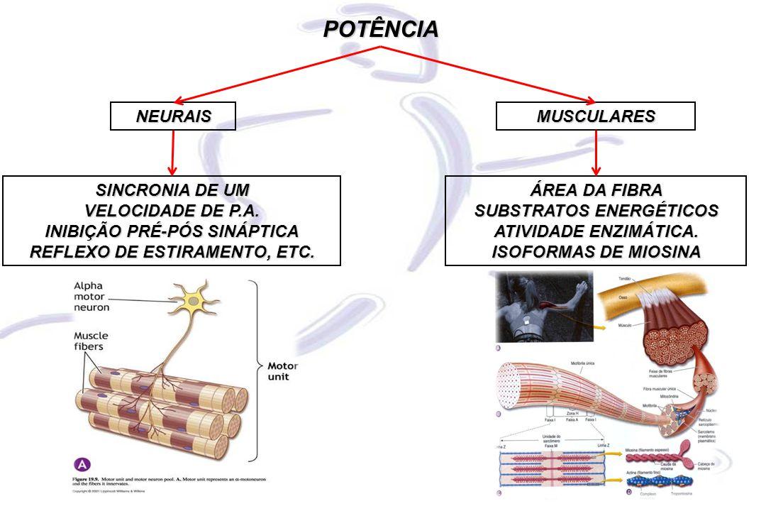POTÊNCIA NEURAIS MUSCULARES SINCRONIA DE UM VELOCIDADE DE P.A.