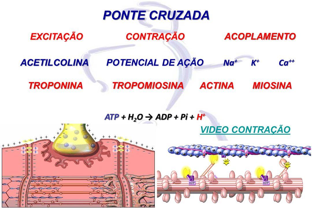 PONTE CRUZADA EXCITAÇÃO CONTRAÇÃO ACOPLAMENTO ACETILCOLINA
