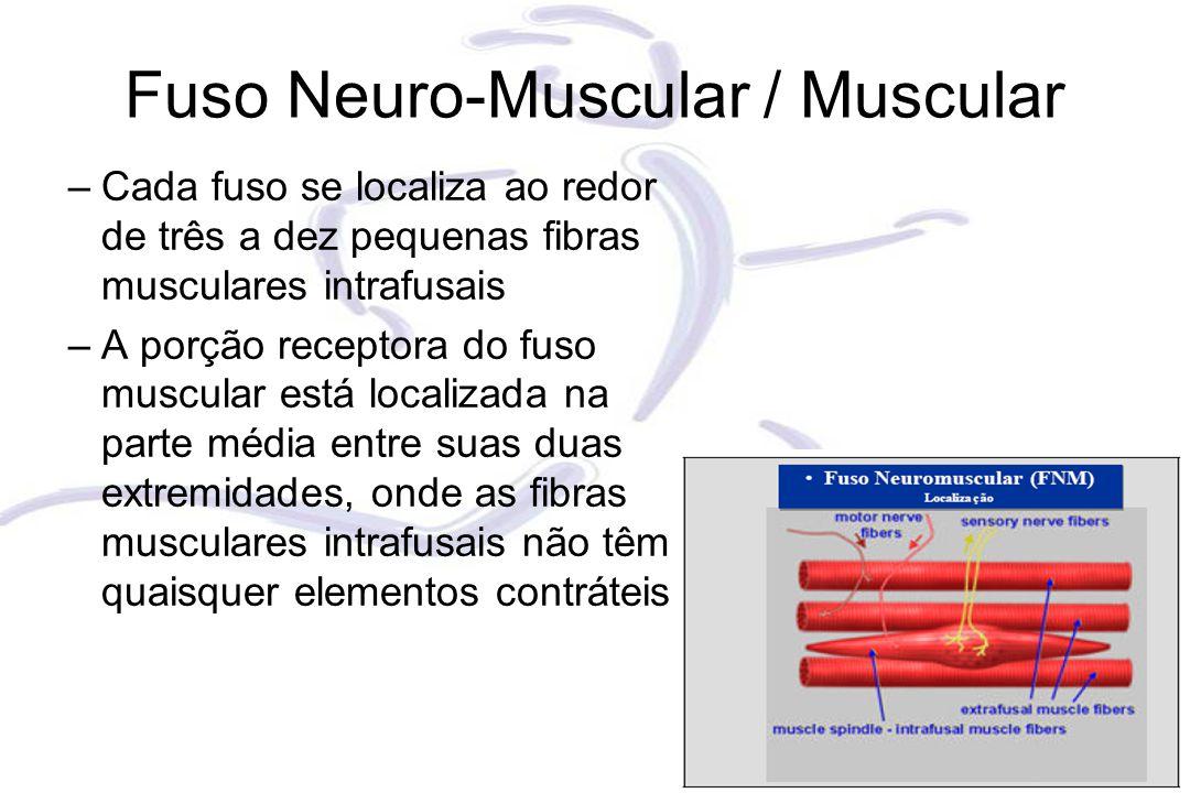Fuso Neuro-Muscular / Muscular