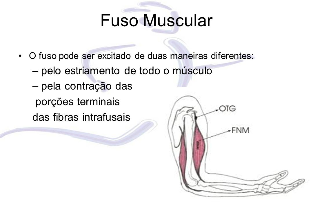 Fuso Muscular pelo estriamento de todo o músculo pela contração das