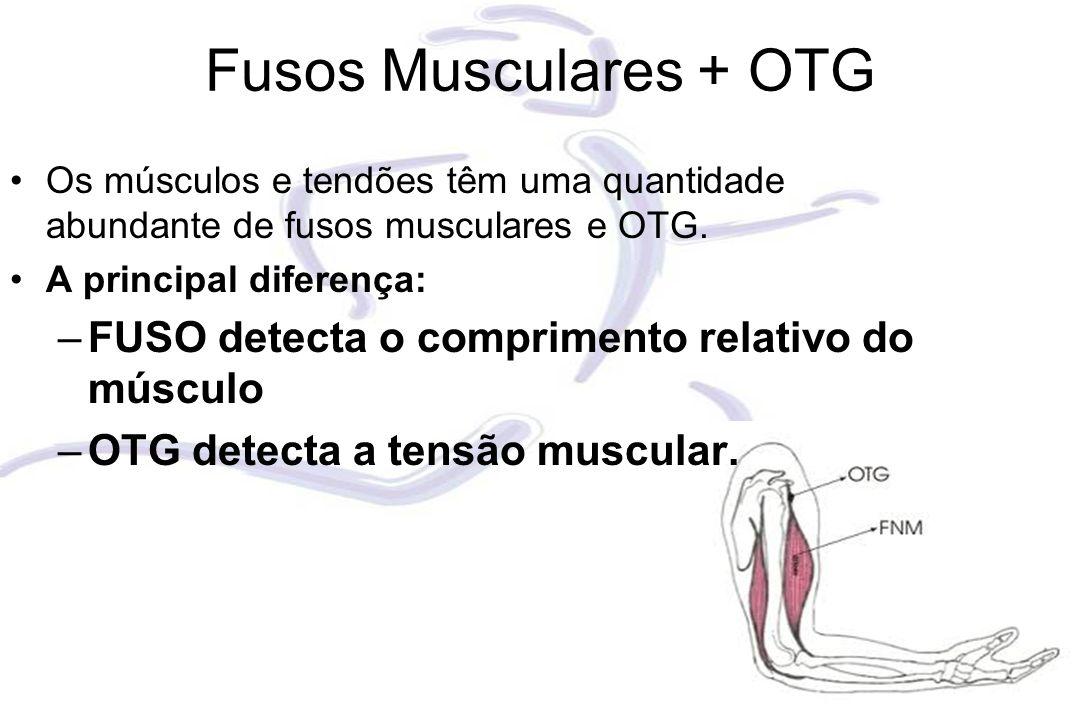 Fusos Musculares + OTG FUSO detecta o comprimento relativo do músculo